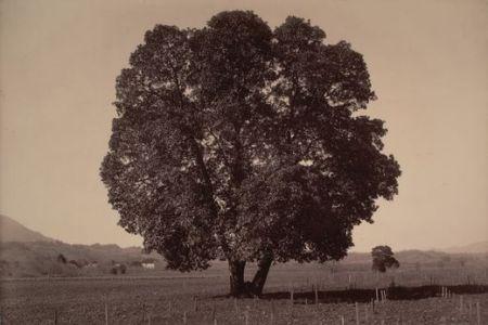 Carleton Watkins - Arbutus Menziesii