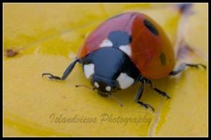 Ladybug Ladybird macro