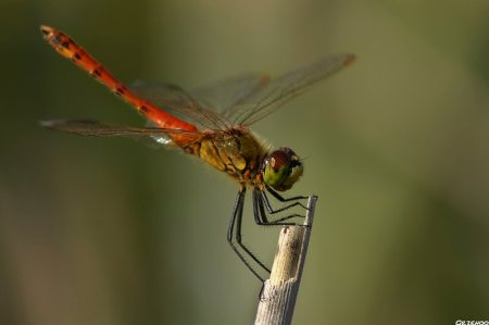 Macro Dragonfly