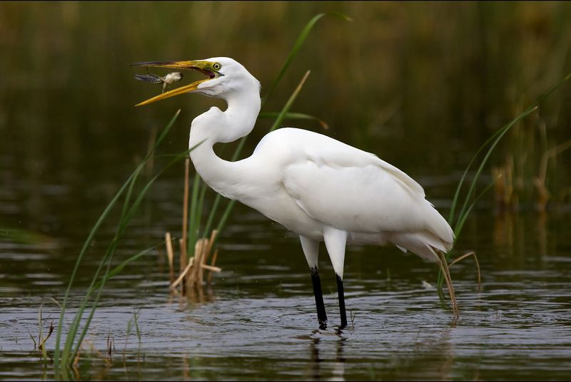 Final Moments for a Frog/Tadpole - Great White Egret