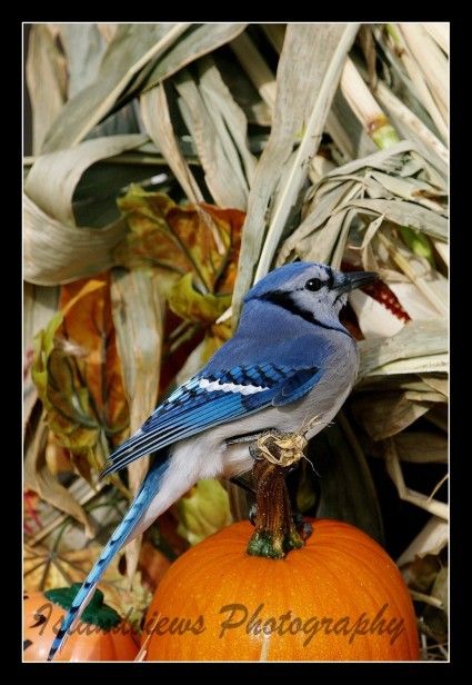 300mm Telephoto shot of a Blue Jay