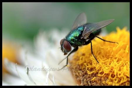 Macro house fly